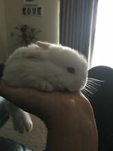 Baby rabbit - reposting last one left Smithfield Plains Playford Area Preview