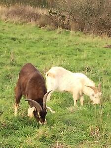 Male Goats to Swap/Trade Red Hill Mornington Peninsula Preview