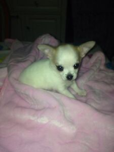 One gorgeous female Chihuahua puppy
