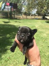 French bulldog pups (see video) Tatura Outer Shepparton Preview