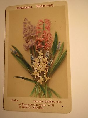 Hyacinthus orientalis - Garten-Hyazinthe / Muscari botryoides - Pflanze / CDV