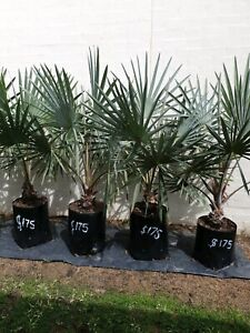 Bismarck Palms $175 each .65 lit bags pick up only in north lakes and
