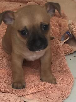 Chihuahua x miniature foxie female puppy