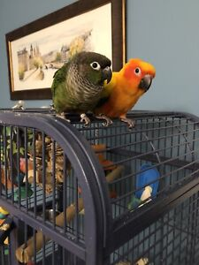 Sun Conure and Green Cheek Conure and Cage