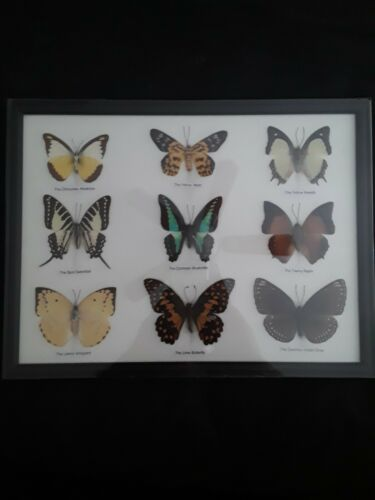 Beautiful Real Framed Butterflies