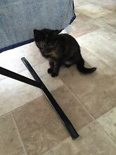Kitten looking for a new home West Ryde Ryde Area Preview