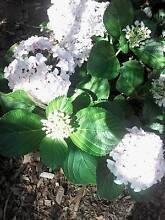 Small HYDRANGEA plants Spearwood Cockburn Area Preview