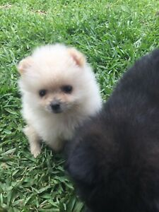 Teacup Pomeranian Puppies For Sale Sydney - ARCHIDEV