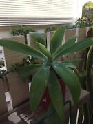 Agave Plant Pimlico Townsville City Preview