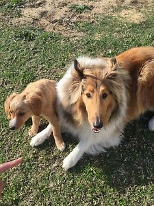 LOST ROUGH COAT COLLIE DOG ! Westminster Stirling Area Preview