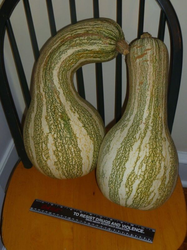 CUSHAW winter squash -- 18+ USA heirloom organic seeds. Plant now!