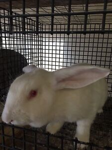New Zealand albino female rabbit for sale