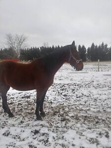 9 year old thoroughbred