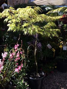 Japanese Maples Kurmond Hawkesbury Area Preview