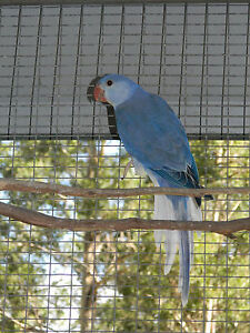Violet white head, white tail Indian Ringneck Minden Somerset Area Preview