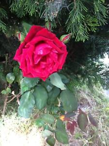 HIGH QUALITY MULTIPLE RED  ROSES