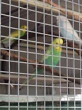 Budgies for sale Broadmeadows Hume Area Preview