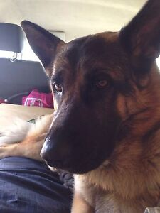 German Shepard pure breed Woody Point Redcliffe Area Preview