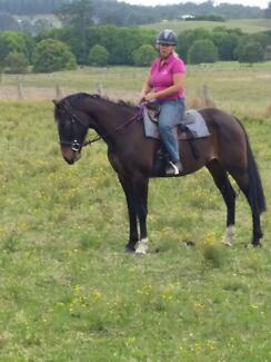 Trail Riding Superstar - Dusty - Standardbred Mare Krambach Greater Taree Area Preview