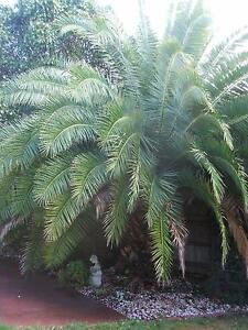 Palm trees - best offer for 3 Bangalow? 1 Canary Isl,? 1 Pygmy? Narre Warren South Casey Area Preview