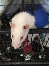 3  rats for sale Kadina Copper Coast Preview