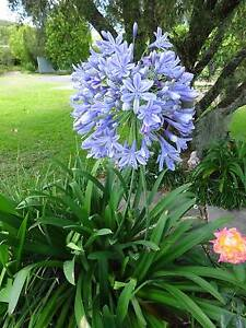 Agapanthus Fennell Bay Lake Macquarie Area Preview