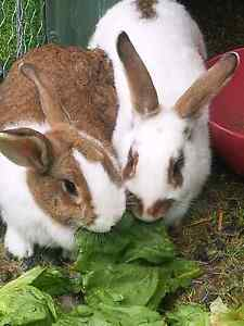 2 female rabbits with homemade indestructible cage on wheels Clyde Casey Area Preview