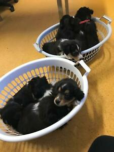 EOI border collie puppies