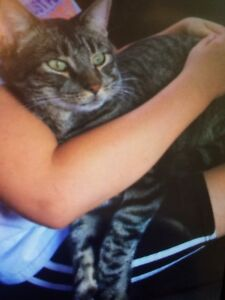 """Missing Male Tabby Cat """"Max"""""""