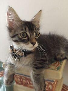 Kitten Beaudesert Ipswich South Preview