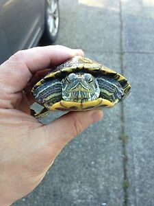 1 & 1/2 year old red eared slider