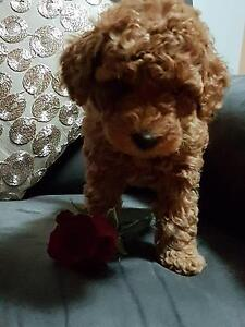 Toy Poodle Pedigree Male Puppy Dark Apricot ready now Cobbitty Camden Area Preview
