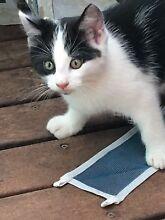 Kittens Elizabeth Grove Playford Area Preview