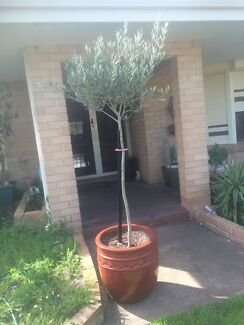 Olive tree Thornlie Gosnells Area Preview