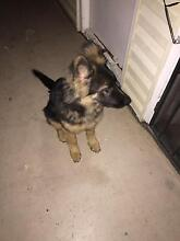 Pure breed german shepherd Condell Park Bankstown Area Preview