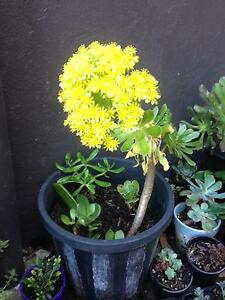 Potted plant Marrickville Marrickville Area Preview
