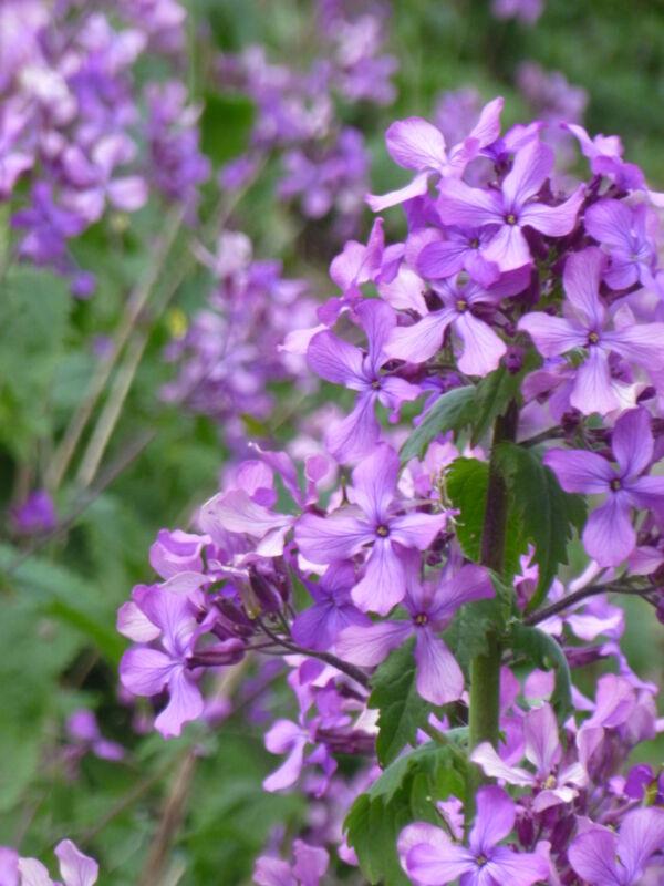 LUNARIA-- 30+ USA seeds. (Honesty, money plant). Purple heirloom flowers!