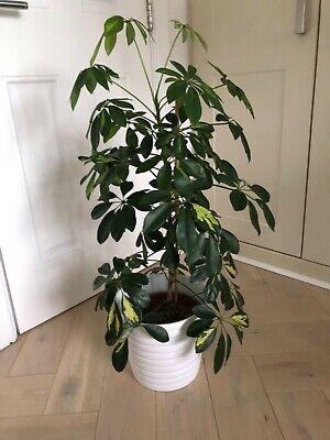 Indoor House Plant Schefflera Umbrella Plant Approx 85 cm Tall