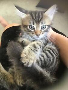 Kitten for sale (russian blue x)
