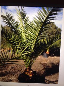 palm trees ( date palm )