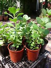 Dogbane advanced plants for sale – abundant flowers, part sun Subiaco Subiaco Area Preview