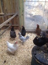 Pullets for sale. Cross breeds Grove Huon Valley Preview