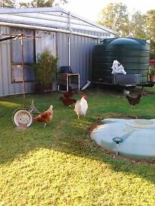 Laying hens and rooster Woodford Moreton Area Preview