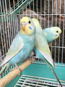 Rainbow baby Budgies just out of the box