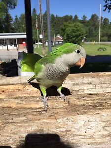 4.5 year old male Quaker Parrot with cage