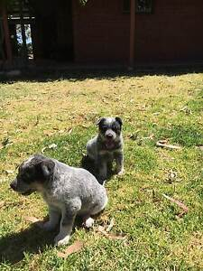 BLUE HEELER PUPS FOR SALE Normanville Yankalilla Area Preview