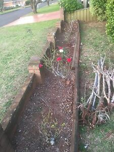 Rose bushes free Harristown Toowoomba City Preview