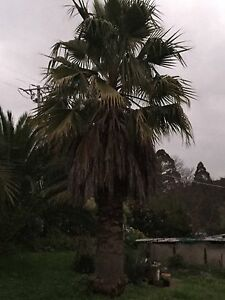 Canary Island date palm for sale Berwick Casey Area Preview