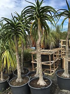 Aloe tree Advanced Feature tree Aloe Barberae Berry Shoalhaven Area Preview