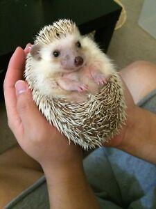 Two years old cute hedgehog